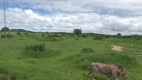 Savanne Kenia van Afrika van het leeuw de wilde gevaarlijke zoogdier stock videobeelden