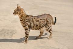 Savannekat in woestijn royalty-vrije stock afbeeldingen