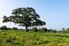 Savannen-Baum gesehen im udawalawe Nationalpark, Sri Lanka stockfotos