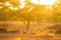 Savannen-goldene Stunde stockfotografie