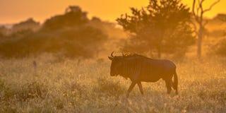 Savannestruik terug door Oranje ochtendlicht wordt aangestoken met Gemeenschappelijke Blauwe Wildebeest of Getijgerd GNU die (Con royalty-vrije stock foto