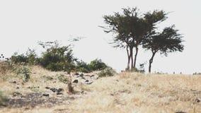 Savannlandskap i Afrika lager videofilmer