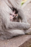 Save in mom's arms. Cute little macaque monkey hiding in mom's arms Stock Photos