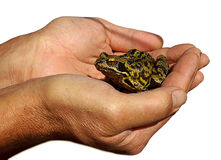 Save nature. Isolated hands holding frog carefully to protect it Stock Photo