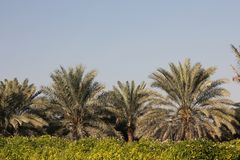 Save the old tree environment green planet Arabian date palm tree park garden blue sky stock image