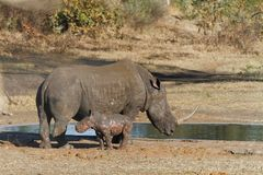 Save our Rhino. Bay rhino burnt in veld fire in Kruger National Park Stock Image
