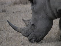 White Rhino. Save our Rhinos from extinction Royalty Free Stock Photography