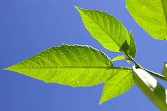 Save the planet [2]. Image of a green leaves on blue sky royalty free stock images