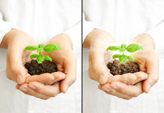 Save the planet - young plant. Man's hands holding a young, green basil plant on white shirt background Royalty Free Stock Image