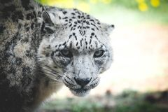Save the Snow Leopards. Snowleopard, endangered, fury, eyecontact royalty free stock photo