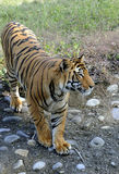 Save tiger project Royalty Free Stock Photo