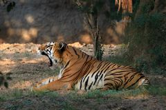 Save tiger project Royalty Free Stock Photos