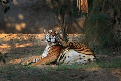 Save tiger project Stock Photography