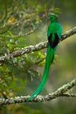 从Savegre的壮观的神圣的绿色和红色鸟灿烂的格查尔在哥斯达黎加,非常长尾巴 免版税图库摄影