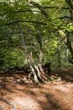Savernake Forest - England`s larger forest. Wiltshire, United Kingdom stock images