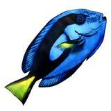 Saveur bleue, poisson de corail marin d'isolement sur le blanc illustration de vecteur