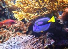 Saveur de corail de bleu de poissons Photographie stock libre de droits