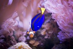 Saveur et clownfish majestueux photographie stock