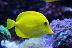 Saveur jaune dans le réservoir d'aquarium de récif coralien Photos libres de droits