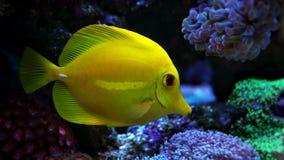 Saveur jaune dans le réservoir marin Photographie stock libre de droits