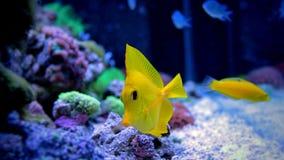 Saveur jaune dans le réservoir marin Images libres de droits