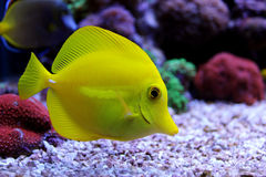 Saveur jaune et x28 ; zebrasoma& x29 ; dans l'aquarium de récif coralien Images libres de droits