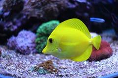 Saveur jaune et x28 ; zebrasoma& x29 ; dans l'aquarium de récif coralien Images stock