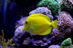 Saveur jaune et x28 ; zebrasoma& x29 ; dans l'aquarium de récif coralien Photographie stock libre de droits