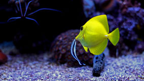 Saveur jaune et x28 ; zebrasoma& x29 ; dans l'aquarium de récif coralien Photos stock