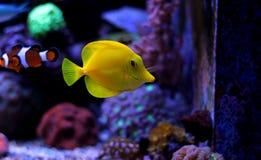 Saveur jaune et x28 ; zebrasoma& x29 ; dans l'aquarium de récif coralien Photo stock
