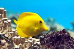 Saveur jaune - flavescens de Zebrasoma Photographie stock libre de droits