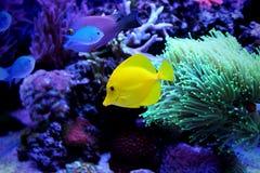 Saveur jaune (zebrasoma) dans l'aquarium de récif coralien Images libres de droits