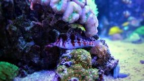 Saveur jaune (zebrasoma) dans l'aquarium de récif coralien Photographie stock