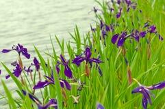 Saveurs d'iris image libre de droits