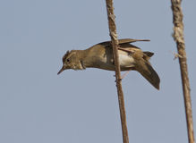 Savi's Warbler (Locustella luscinioides). Is climbing on branch cane Stock Images