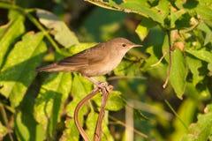 Savi's warbler  / Locustella lus Stock Photography