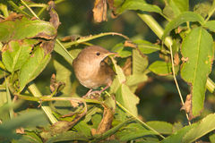 Savi's warbler  / Locustella lus Royalty Free Stock Photography