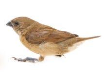 Savi's warbler Royalty Free Stock Image
