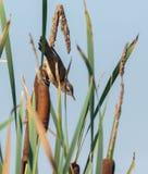 Savi`s warbler in the reeds Stock Photos