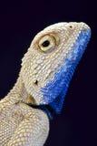 Savigny's agama (Trapelus savignii) Stock Image