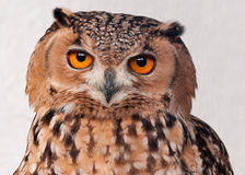 Savigny's Eagle Owl (Bubo Ascalaphus) Royalty Free Stock Images