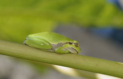 Savignys Tree Frog Royalty Free Stock Image