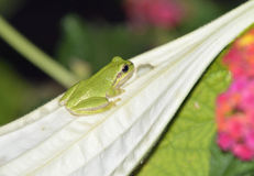Savignys Tree Frog Stock Image