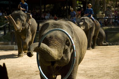 Saving Elephants. Outside of Chiang Mai, Thailand, these elephants are part of a conservation effort to keep them working. One handler per elephant who stay Royalty Free Stock Image