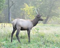 Saving the Elk Royalty Free Stock Photos