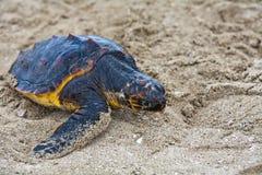 Saving turtle Stock Photo