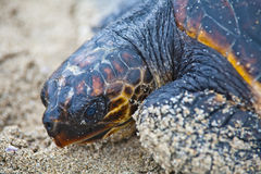 Saving turtle Royalty Free Stock Photography