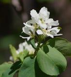 Savis Berry Blossoms Royaltyfri Fotografi