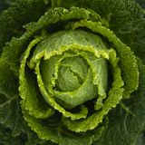 Savoy cabbage (Brassica oleracea) Royalty Free Stock Photography