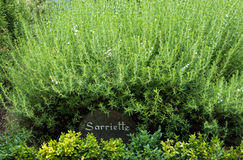 Savory bush in a French garden Stock Photo